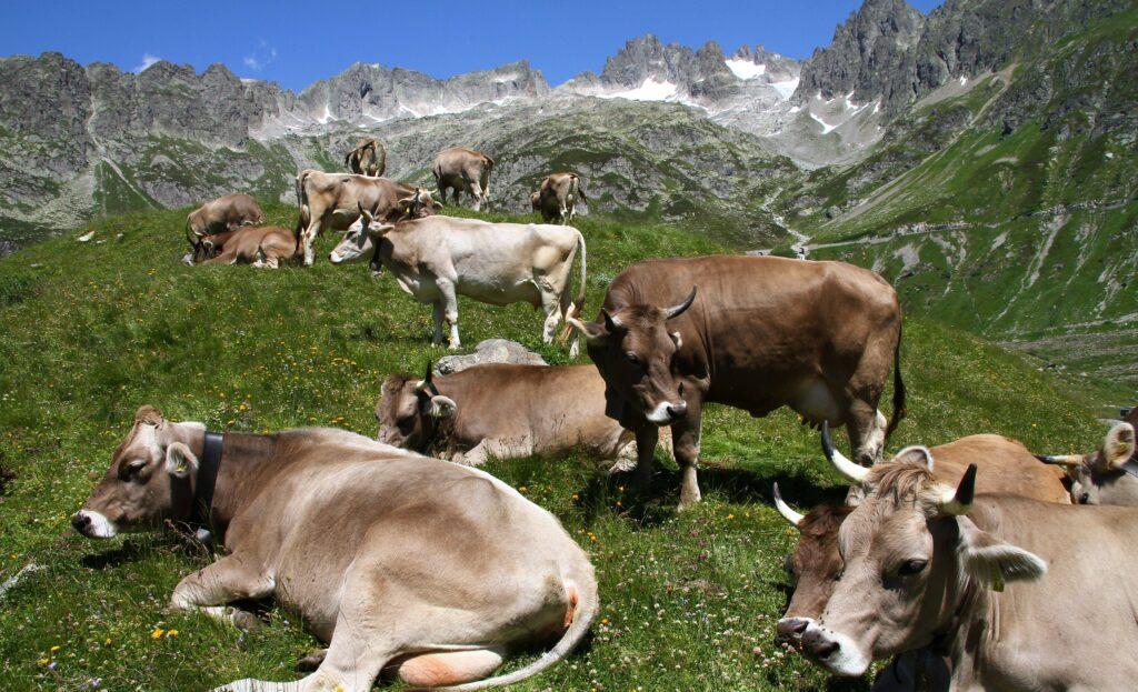 Kühe auf einer Schweizer Alm